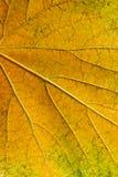 Hoja de las uvas del otoño como fondo Fotografía de archivo libre de regalías