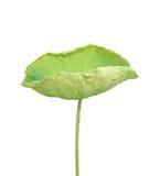 Hoja de Lotus aislada en el fondo blanco fotos de archivo libres de regalías
