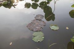 Hoja de Lotus en la charca fotografía de archivo