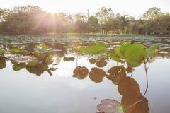 Hoja de Lotus en la charca imagen de archivo