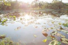 Hoja de Lotus en la charca imágenes de archivo libres de regalías