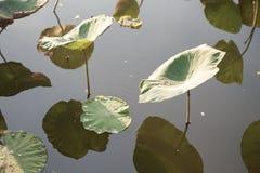 Hoja de Lotus en la charca imagenes de archivo