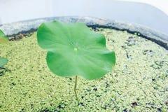 Hoja de Lotus en la charca Imagen de archivo libre de regalías