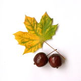 Hoja de Mapple con las manzanas Fotos de archivo libres de regalías
