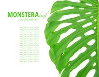 Hoja de Monstera fotografía de archivo