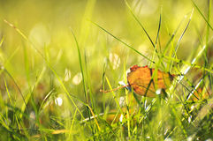 Hoja de oro del abedul en hierba verde imagenes de archivo