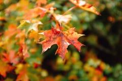Hoja de oro del otoño - fondo de la caída Fotos de archivo