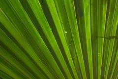 Hoja de palma del azúcar Foto de archivo libre de regalías