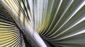 Hoja de palma del azúcar del detalle Imagen de archivo libre de regalías