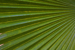 Hoja de palma del verde del fondo de la textura Fotografía de archivo libre de regalías