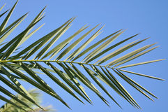 Hoja de palma en fondo del cielo azul imagen de archivo