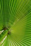 Hoja de palma en forma de abanico Fotografía de archivo