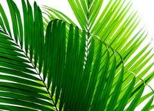 Hoja de palma hermosa aislada fotografía de archivo