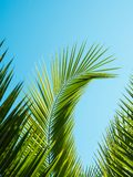 Hoja de palma modelada en fondo del cielo azul Imagen de archivo