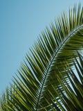 Hoja de palma modelada en fondo del cielo azul Fotografía de archivo