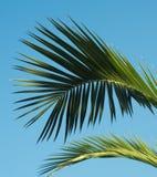 Hoja de palma modelada en fondo del cielo azul Fotografía de archivo libre de regalías