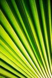 Hoja de palma tropical en imagen macra con las líneas abstractas Foto de archivo