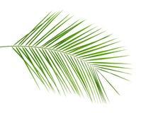 Hoja de palma tropical fresca de la fecha imagen de archivo