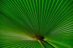 Hoja de palma verde de la fan Fotos de archivo