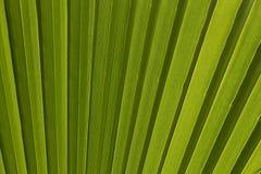 Hoja de palma verde para el fondo Foto de archivo libre de regalías