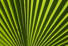 Hoja de palma verde para el fondo Fotos de archivo