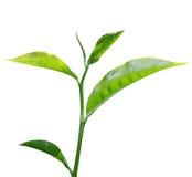 Hoja de té imágenes de archivo libres de regalías