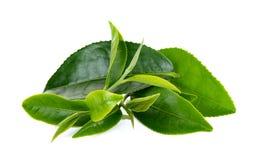 Hoja de té fresca aislada en el fondo blanco fotografía de archivo libre de regalías