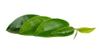 Hoja de té fresca aislada en el fondo blanco imagenes de archivo