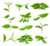 Hoja de té verde Foto de archivo libre de regalías