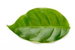 Hoja de té verde aislada en el fondo blanco foto de archivo
