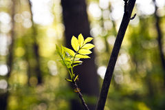Hoja de un árbol en luz de la mañana Fotos de archivo libres de regalías