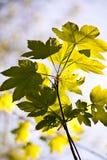 Hoja de un árbol en luz de la mañana Imágenes de archivo libres de regalías