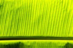 Hoja de una palmera del plátano Imágenes de archivo libres de regalías