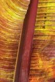 Hoja de una planta de plátano hojeada roja foto de archivo