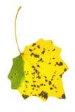 Hoja del álamo temblón del otoño Imagen de archivo libre de regalías