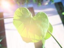 Hoja del árbol bajo la forma de corazón Fotografía de archivo libre de regalías