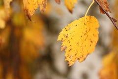 Hoja del árbol de abedul de la astilla en otoño Imagen de archivo