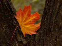 Hoja del árbol de arce Fotografía de archivo libre de regalías