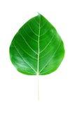 Hoja del árbol de Bodhi Imagenes de archivo
