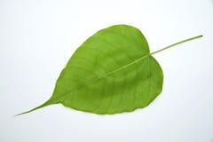 Hoja del árbol de Bodhi Foto de archivo libre de regalías