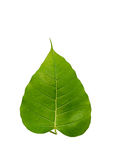 Hoja del árbol de Bohhi Imagen de archivo