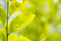 Hoja del árbol de caqui Fotografía de archivo libre de regalías