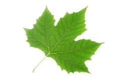 Hoja del árbol plano Foto de archivo libre de regalías
