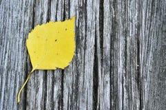 Hoja del abedul amarillo Fotos de archivo libres de regalías