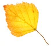 Hoja del abedul amarillo aislada Imagen de archivo libre de regalías