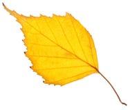 Hoja del abedul amarillo aislada Fotos de archivo libres de regalías