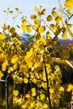 Hoja del abedul amarillo en fondo azul de la montaña Fotos de archivo