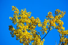 Hoja del abedul amarillo en fondo del cielo azul Imagen de archivo