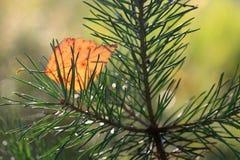 Hoja del abedul amarillo en la rama del pino Imagenes de archivo