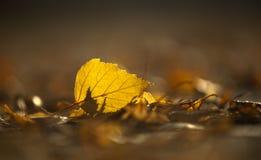 Hoja del abedul amarillo en otoño temprano Fotografía de archivo